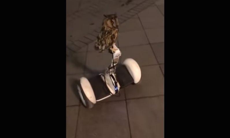 По улице сова каталась... на гироскутере