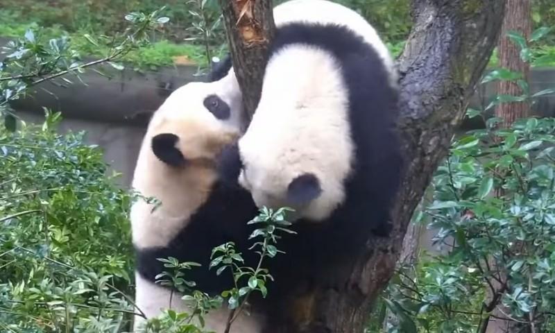 Как две панды дерево делили