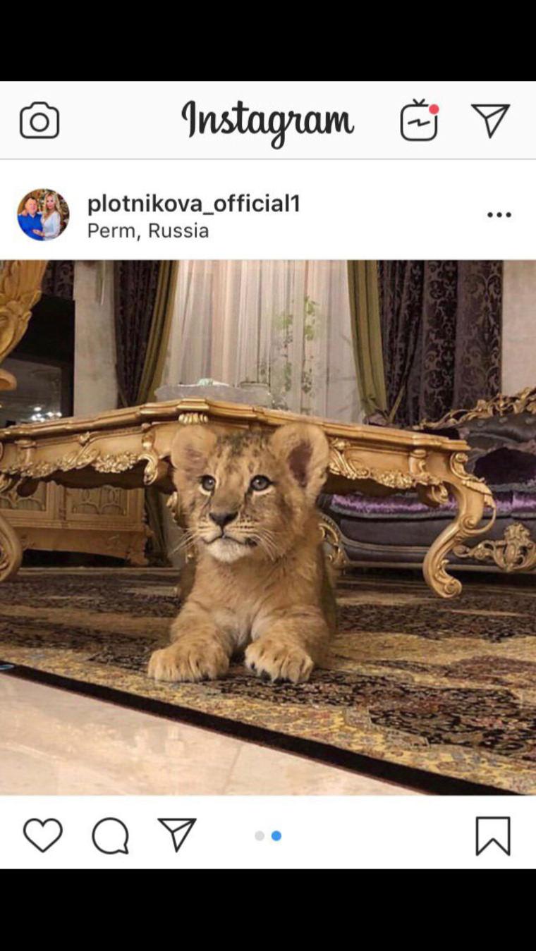 Жена пермского депутата сдает львенка в почасовую аренду