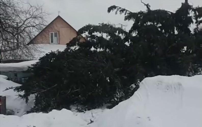 Срубившие елку у частника чиновники выбросили ее обратно на участок