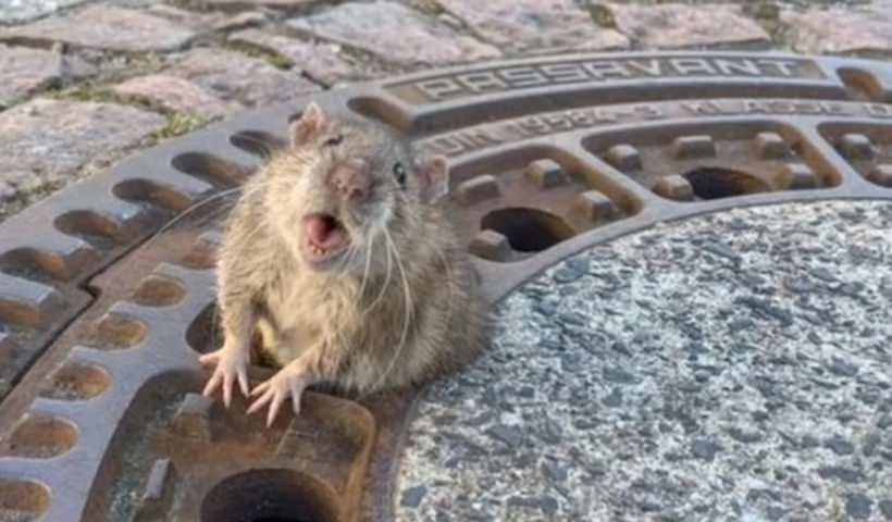8 спасателей помогали толстой крысе выбраться из люка