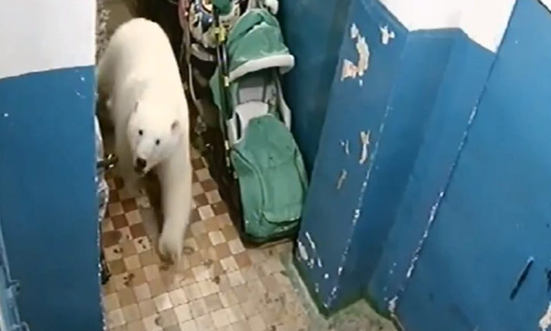 Стала известна судьба белых медведей, атаковавших Новую Землю