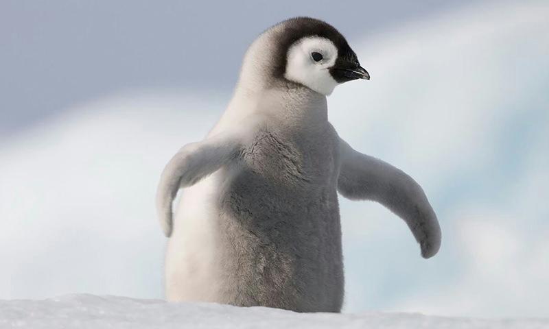 Хищные птицы хотели растерзать пингвинёнка, но тут появились утки