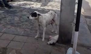 Мать раненного щенка отчаянно звала людей на помощь