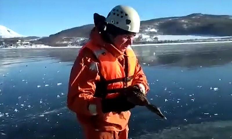 В Камчатском крае спасатели освободили утку, примерзшую ко льду