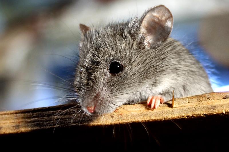 Мышка-хозяйка