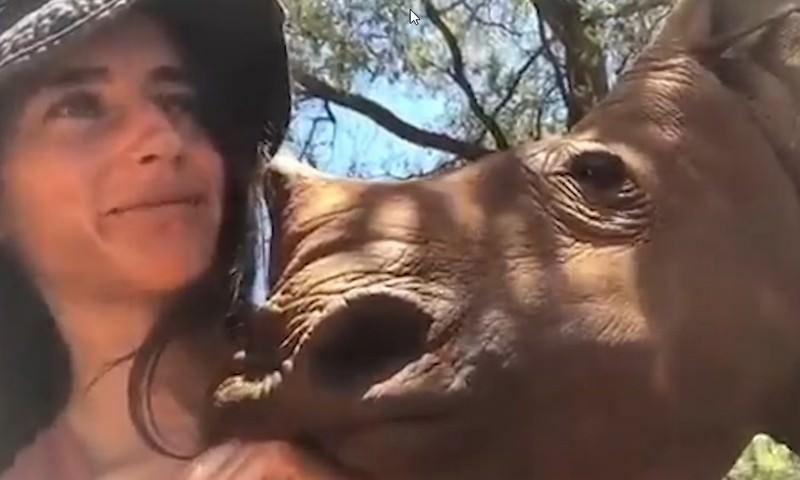 В ЮАР осиротевший носорог расцеловал  волонтера
