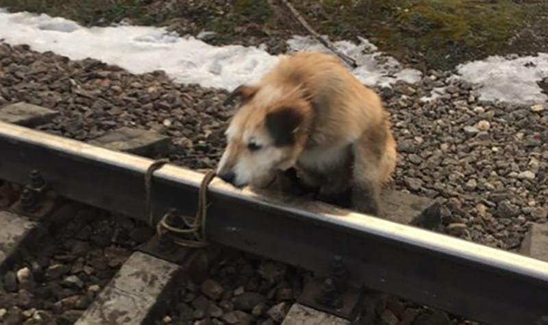 Машинист успел остановить поезд и спасти собаку, которую привязали к рельсам