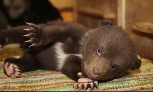 В Тверской области выхаживают 10 медвежат, оставшихся без матери