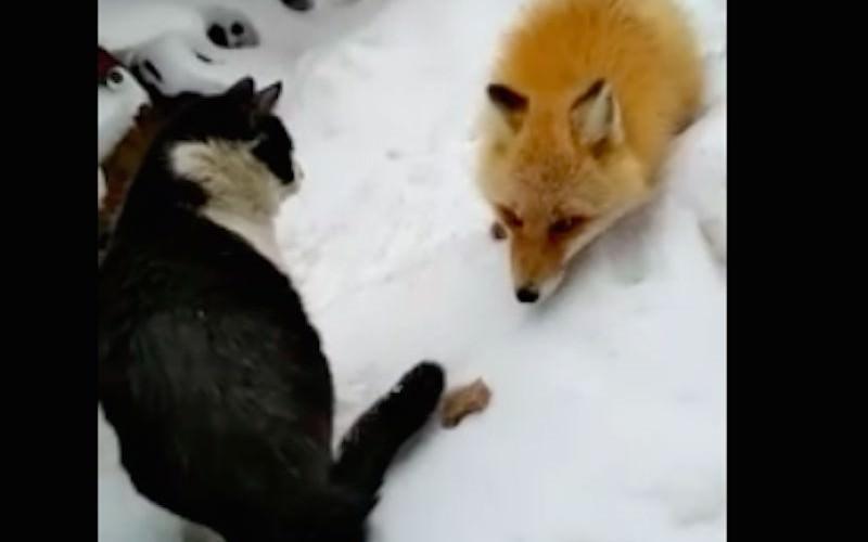 Жадина-говядина: лиса воюет с котом за еду