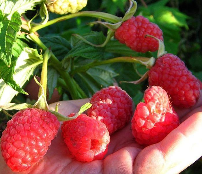 Саженцы малины: какой сорт растения выбрать и где его приобрести