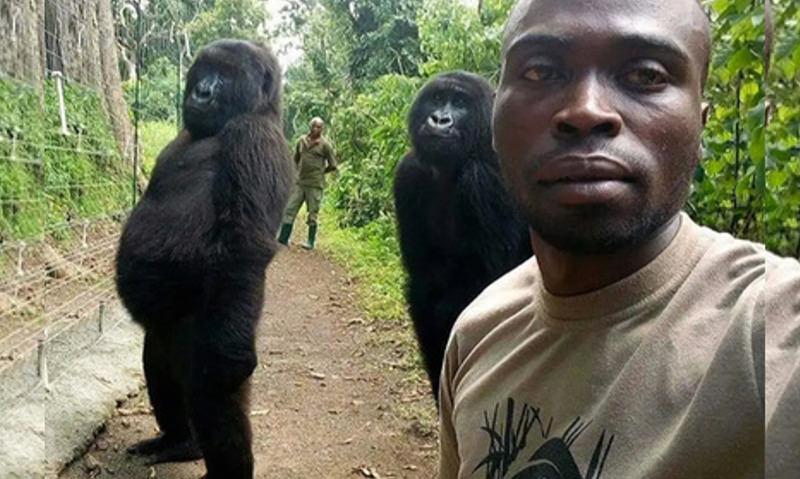 Две гориллы в Конго научились позировать для селфи