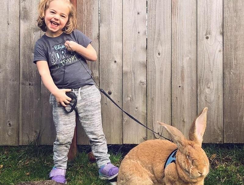 Трехлетней малышке подарили гигантского кролика: пришлось подружиться