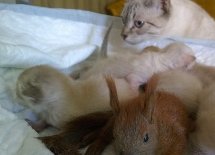 Кошка выходила бельчонка с травмированными лапками