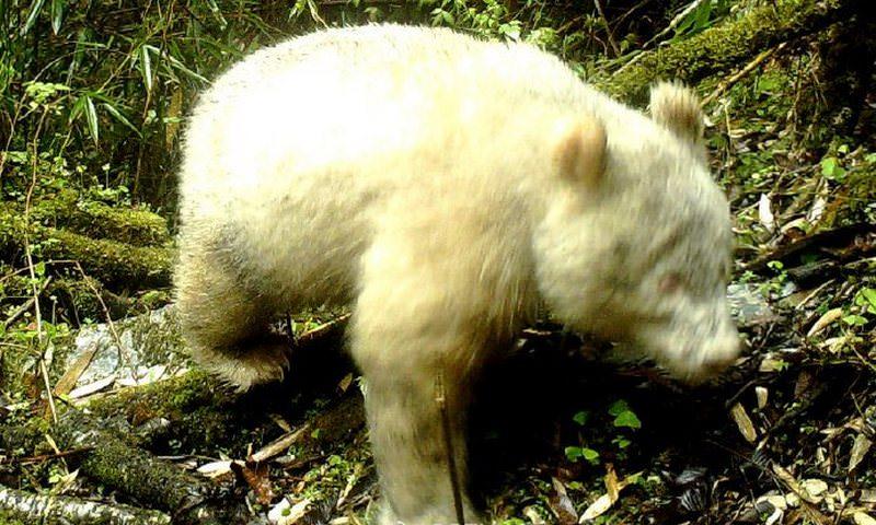 Появилась первая в мире фотография панды-альбиноса