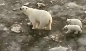 На Ямале медведица с детёнышами пришла в порт