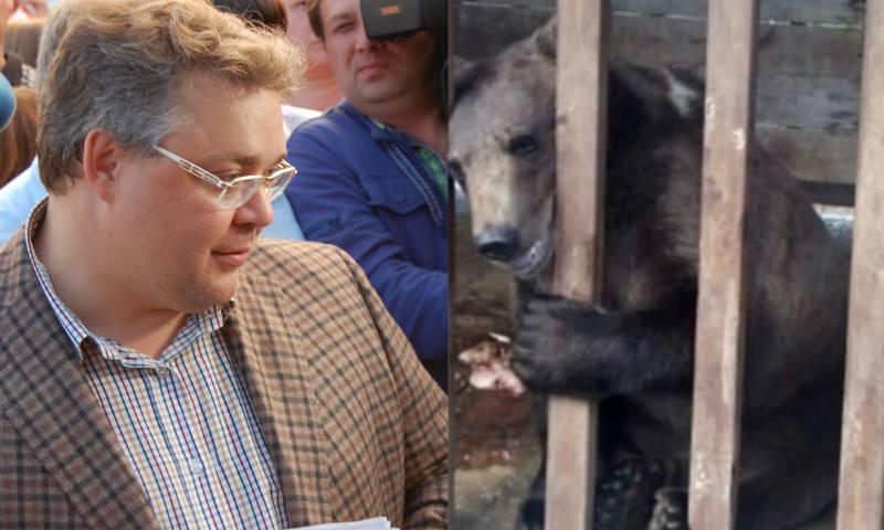 Ставропольскому губернатору указали на «труп» медвежонка на старте избирательной кампании