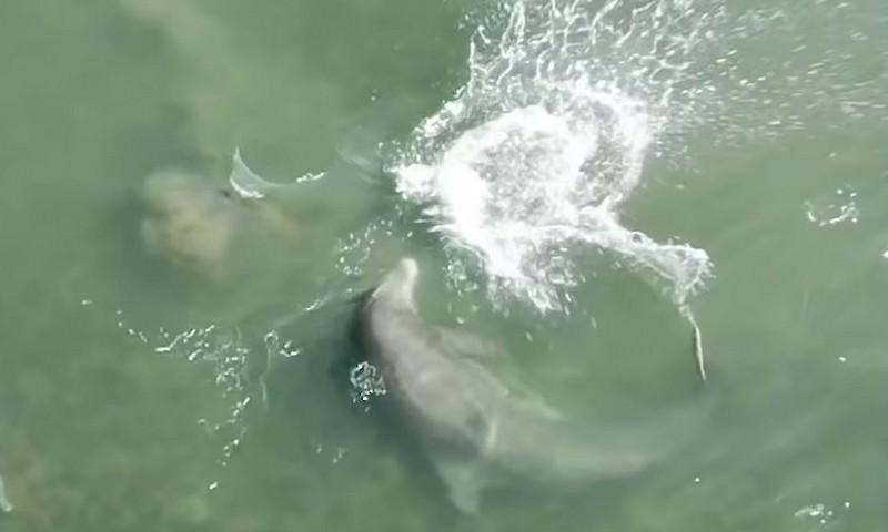 Новая техника охоты дельфинов на рыбу, замечена у побережья Флориды