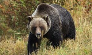 В Хабаровском крае медведь разрыл могилу и утащил покойника
