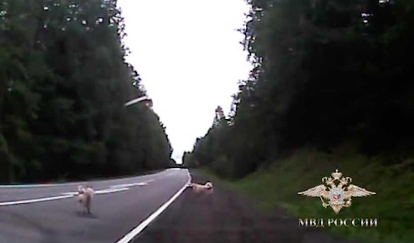 Автоинспектор помог собакам-гулёнам вернуться к хозяину