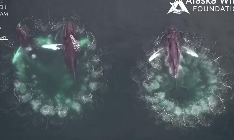 Киты устроили рыбалку с помощью воздушной сети