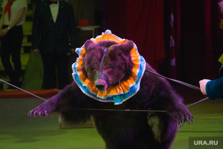 Разъяренный медведь напал на дрессировщика, а цирк обвинил в этом зрителей - Блокнот Россия
