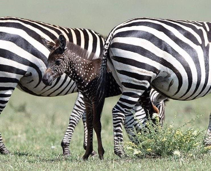 В Кении родилась зебра в горошек