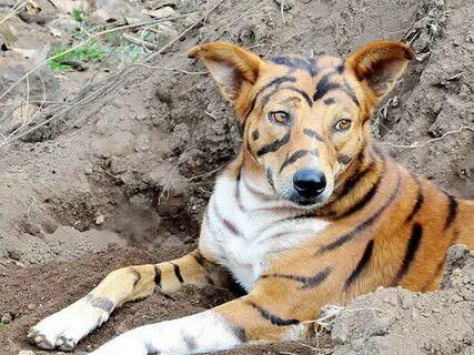 Индийский фермер перекрасил собаку под тигра, чтобы отпугивать обезьян, ворующих его урожай