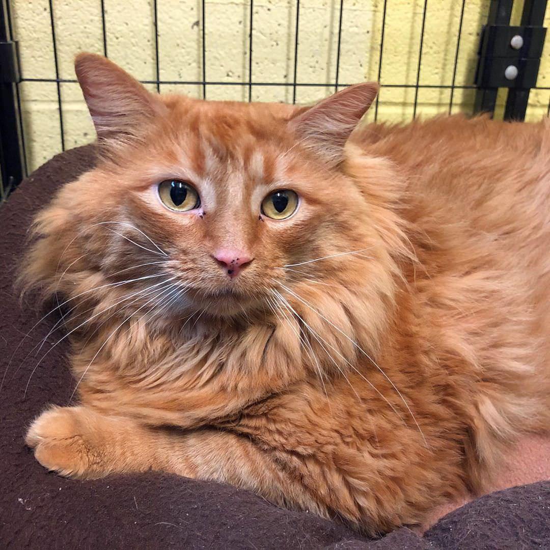 Великолепному коту Базуке предстоит похудеть на 10 кг