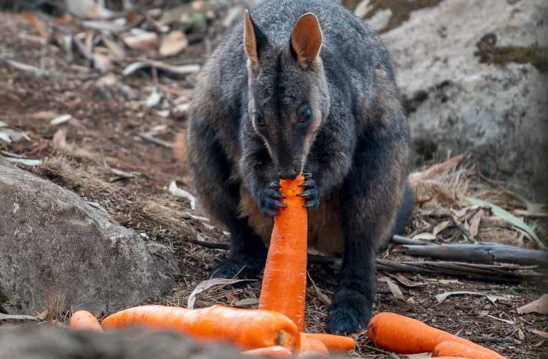 В Австралии пострадавшим от пожаров животным сбросили с вертолетов тонны моркови