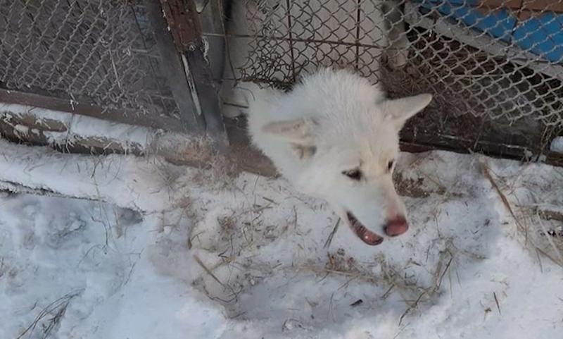 В Якутии собаки умирают в открытых вольерах приютов при -50 градусах