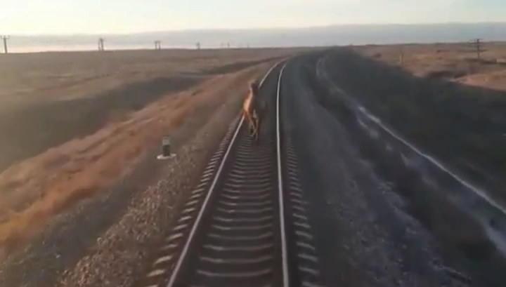 Настырный верблюд задержал следовавший в Москву поезд