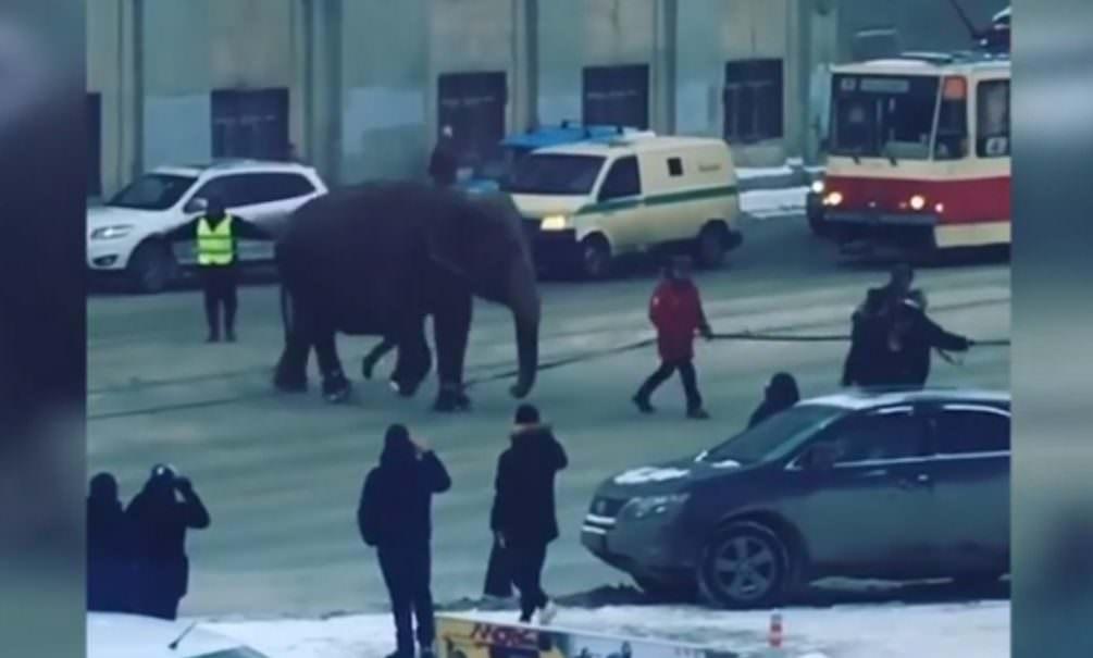 «Им захотелось немного прогуляться». В Екатеринбурге ловили гулявших по улицам слонов