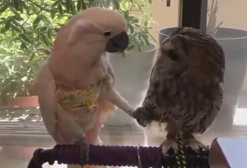 Влюблённый попугай выбрал неправильную пассию