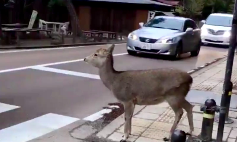 Трудно быть пешеходом, когда за рулем невоспитанные олени