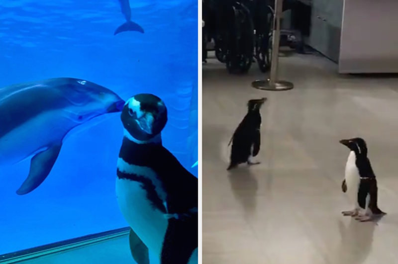 Пингвины устроили