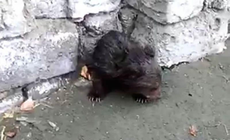 В Бурятии нашли напуганного одинокого мишутку