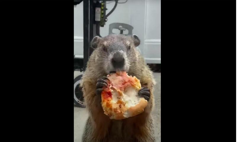 Сурок с пиццей ходит дразнить собак на самоизоляции