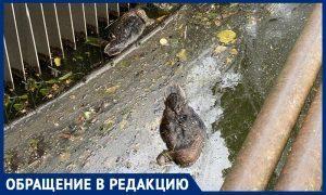 Второй год подряд утки в калиниградском озере гибнут из-за мусора в воде, рассказали очевидцы