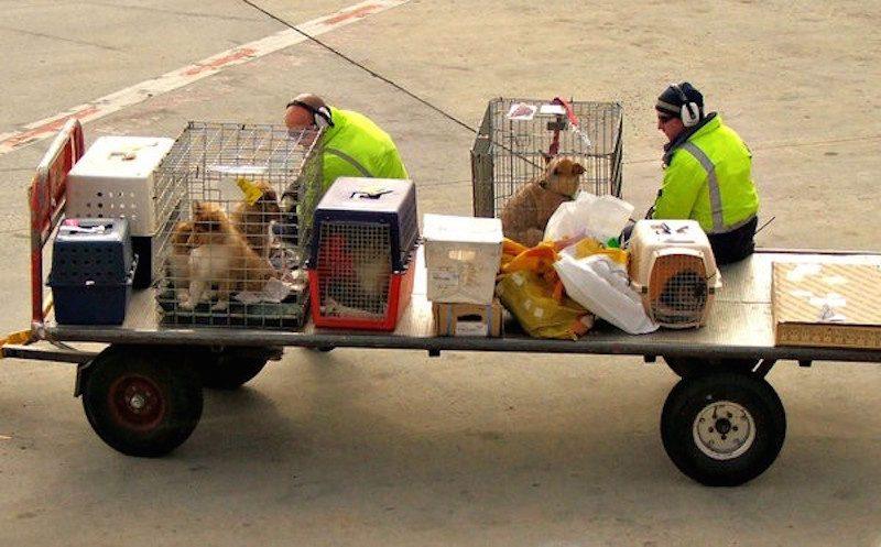 Ветеринар рассказал о породах собак, для которых авиаперелет смертельно опасен