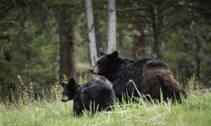 «Марина, ты это видишь?!»: в сети появилось видео с медведями, спасающимися от лесных пожаров в поселке под Магаданом
