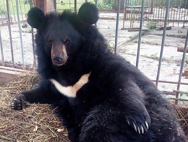 В частном курском зоопарке медведь Балу почти отгрыз скотнице руку и тут же сам погиб