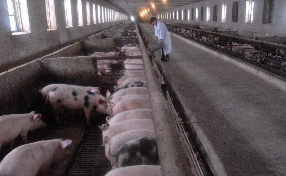 Свиноцид устроят 34 тысячам животным по указанию воронежских чиновников