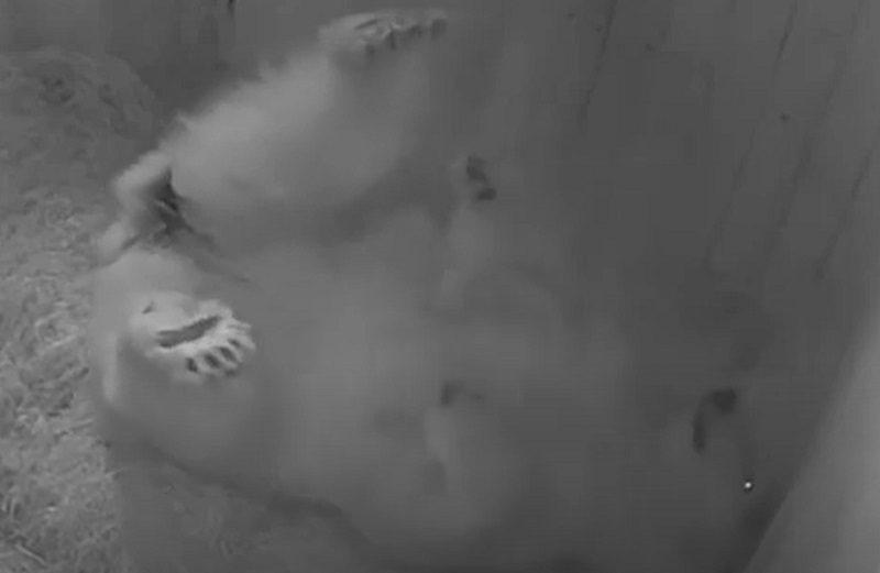 Полкилограмма милоты: в зоопарке Ростова впервые за 32 года родился белый медвежонок
