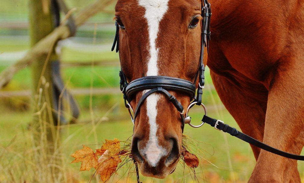 Петербуржец полез целовать лошадь. А она  откусила ему нос