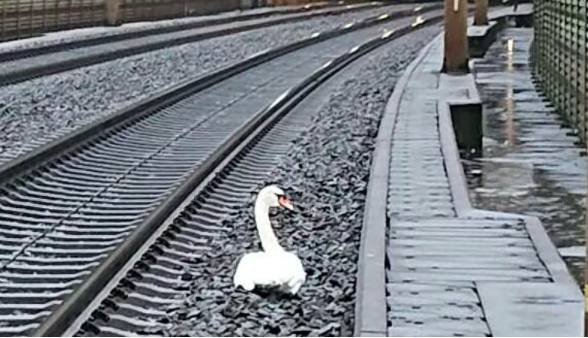 Лебединая верность: скорбящая птица остановила движение поездов на час