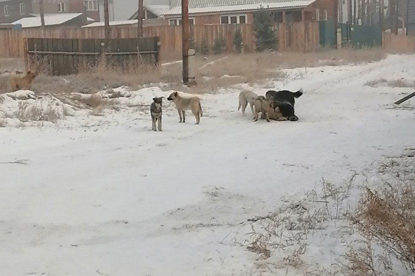 «Все покусано до костей, глазные яблоки наружу»: стая собак обглодала девушку в Улан-Удэ, а власти бессильны