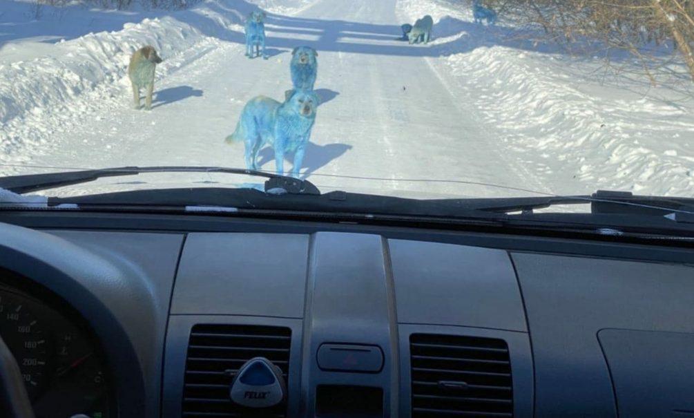 Сучки крашеные: у химзавода в Дзержинске бродят ярко-синие собаки. И, возможно, ядовитые
