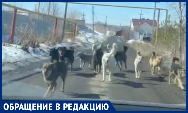 Тысячи бродячих собак заполонили Саратов. Стаи нападают на детей, власти бездействуют, рассказали очевидцы