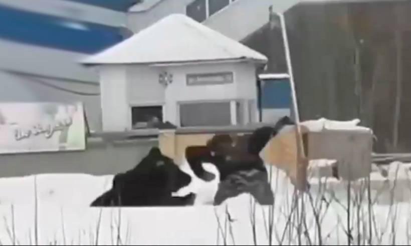 Медведица устроила охоту на людей на улицах Нижневартовска